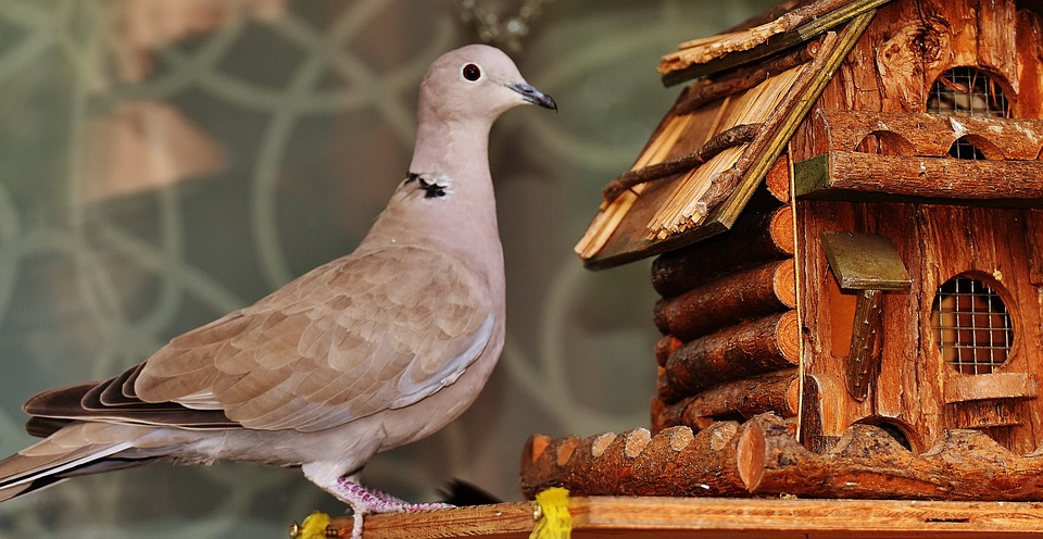 Karakteristik Burung Kacer